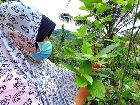 ชาวบ้านในจังหวัดชายแดนภาคใต้ ขณะเก็บใบกระท่อมซึ่งปลูกเอาไว้เพื่อใช้เป็นยารักษาโรค วันที่ 19 สิงหาคม 2564
